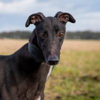 Meet Joe - a rescued Greyhound looking for a new home
