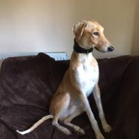 Percy is a very good-looking Saluki X Greyhound looking for an adoption home