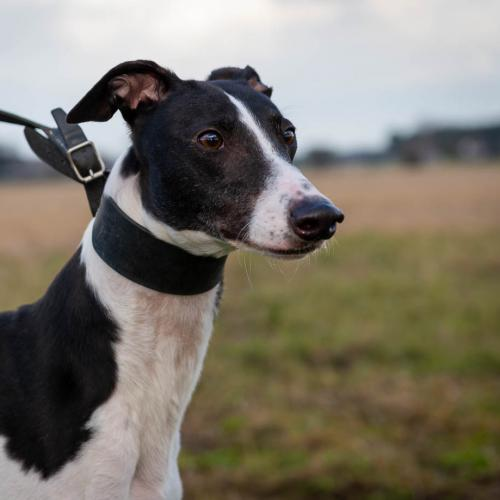Meet Danny - rescued greyhound looking for a new home