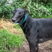 Meet Webby - a rescued Greyhound looking for a new home