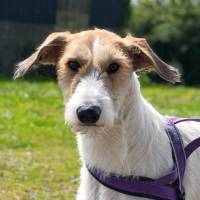 Rescue Lurcher looking for a new home