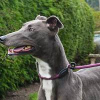 Meet Bluebell - a rescued Greyhound looking for a new home