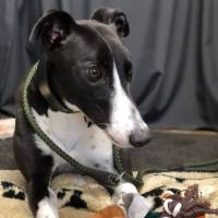 Meet Fanny - a rescued Greyhound looking for a new home