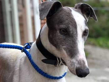 Meet Argo - a rescued Greyhound looking for a new home