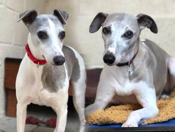 Meet Punch and Judy - a rescued Whippets looking for a new home