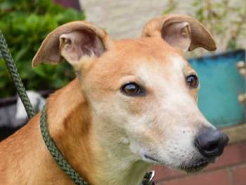 Meet Murphy - a rescued Greyhound looking for a new home