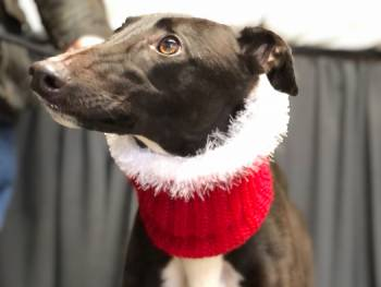 Meet Daisy - a rescued Greyhound looking for a new home