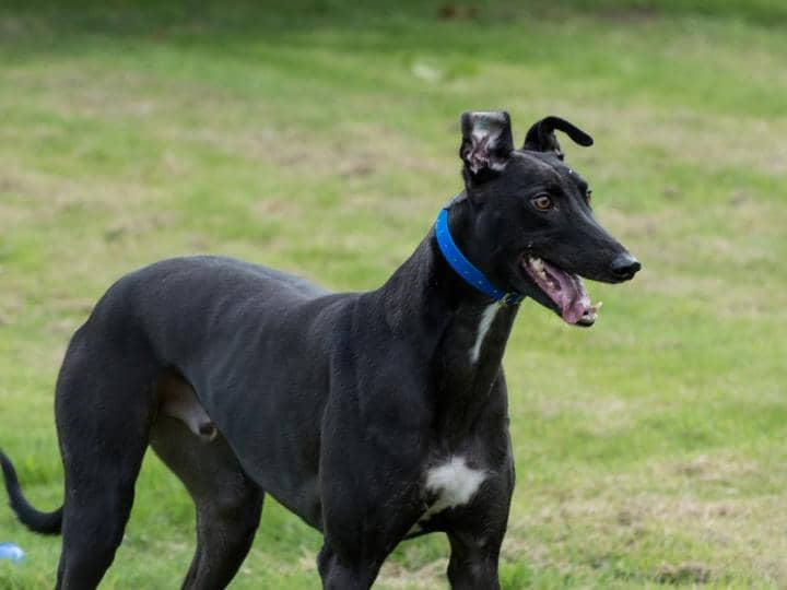 Meet Blake - rescued greyhound looking for a new home