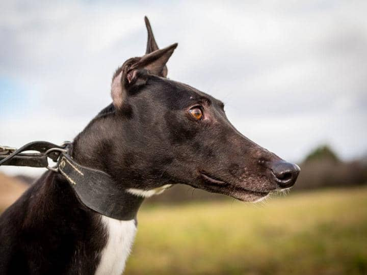 Duncan the greyhound with his amazing ears