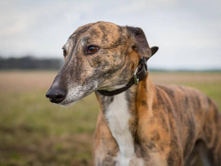 Jimmy the greyhound is looking for a new home