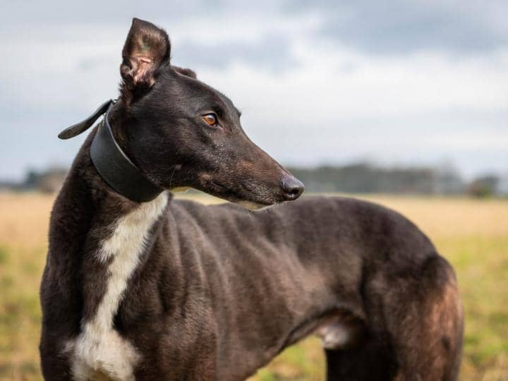 Meet Marco - a rescued Greyhound looking for a new home