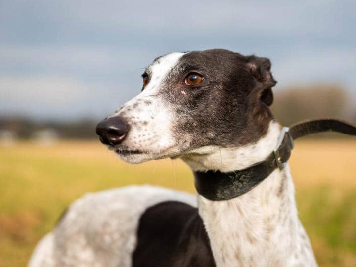 Meet Rosie - she's a beautiful rescued greyhound looking for an adoption home