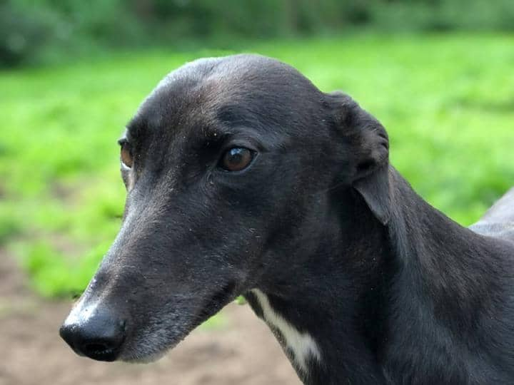 Meet Heidi - a rescued Greyhound looking for a new home