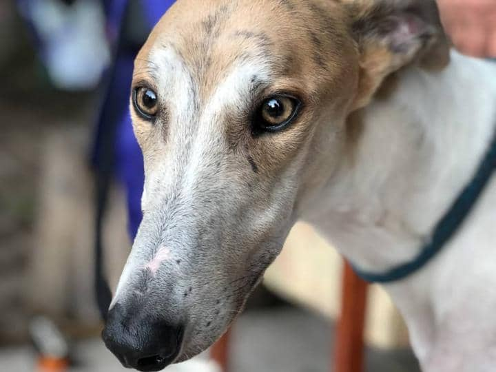 Meet Lloyd - a beautifully coloured rescued Greyhound looking for a new home