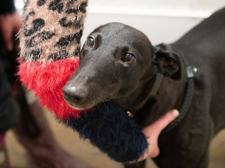 Meet Catch - a rescued Greyhound looking for a new home