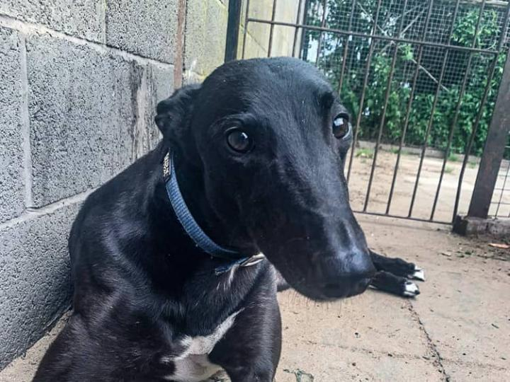 Meet Elmo - a rescued Greyhound looking for a new home