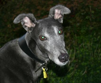Meet Mojo, retired racing greyhound ready for adoption