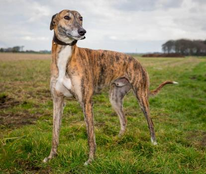 Jimmy the rescued greyhound ready for adoption