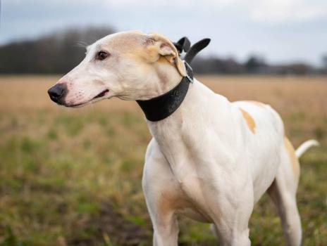 Spud is a Lurcher aged around eighteen months old.