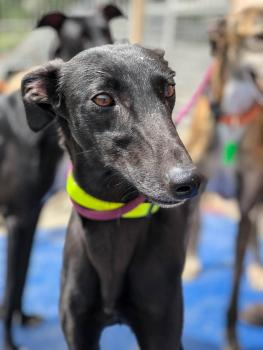 Lacey is our gorgeous black Spanish Galgo looking for a home
