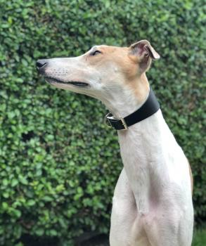 Lloyd is a rescued Greyhound looking for a new home