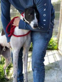Meet Ricky - a rescued Greyhound looking for a new home