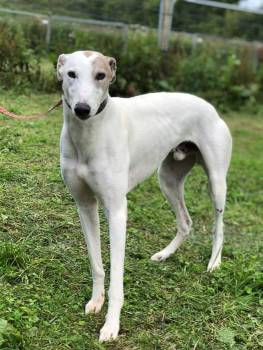 Meet Jock - a rescued Greyhound looking for a new home