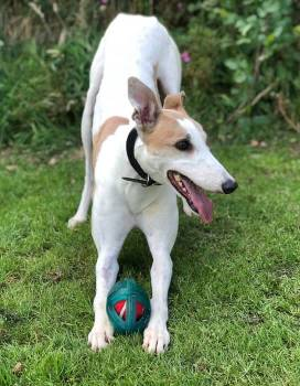 Rescue greyhound Virgil needs a new home