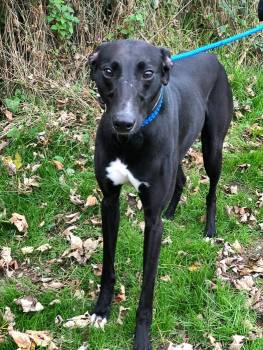 Meet Jett - a rescued Greyhound looking for a new home